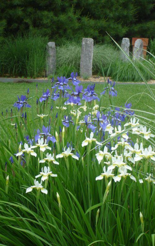 Spring Iris in Westchester landscape design by Johnsen Landscapes and Pools